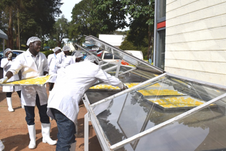 Setting of mango slices for drying in the tunnel solar drier