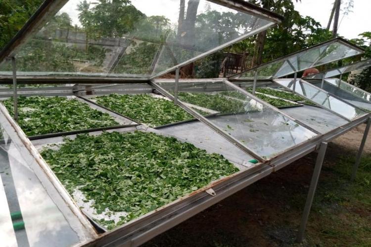 Solar drying of Moringa